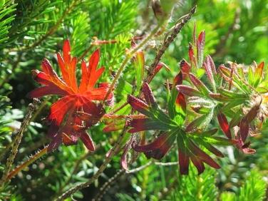 Bloody Crane's-bill (Geranium sanguineum) - leaf
