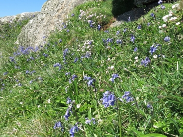 Bluebells on Cornish coast