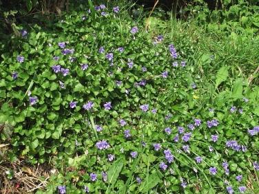 Common Dog-violet (Viola riviniana)