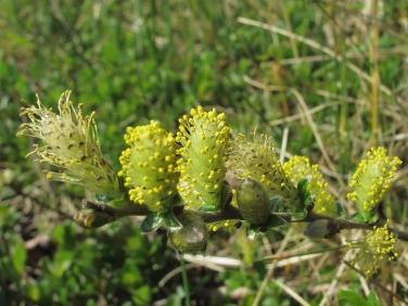 Creeping Willow (Salix repens)