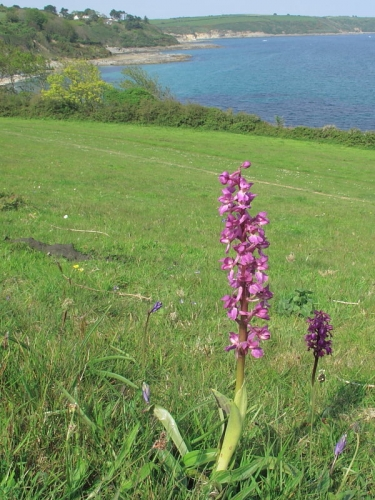 Early Purple Orchid (Orchis mascula)