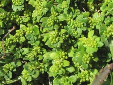 Fringed Rupturewort (Herniaria ciliolata)