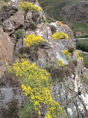 Hairy Greenweed (Genista pilosa)