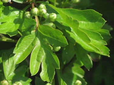 Hawthorn (Crataegus monogyna) - leaves