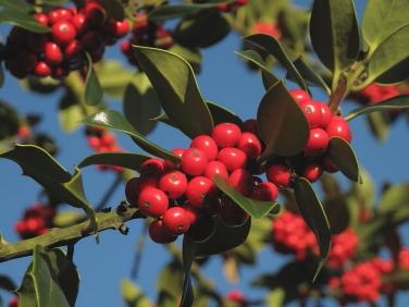 Holly (Ilex aquifolium) - fruit