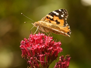 Painted Lady butterfly (Vanessa cardui) nectaring on Red Valerian