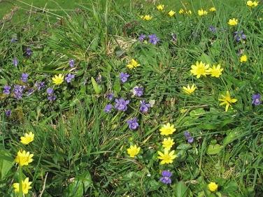 Common Dog-violet (Viola riviniana) and Lesser Celandine (Ficaria verna or Ranunculus ficaria)