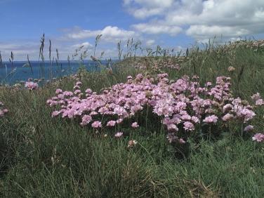Thrift or Sea Pink (Armeria maritima subsp. maritima)