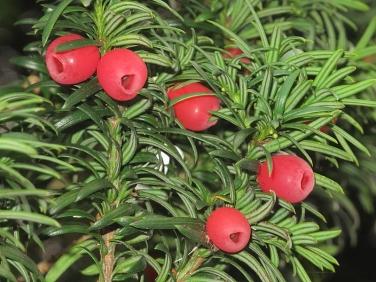 Yew (Taxus baccata) - fruit