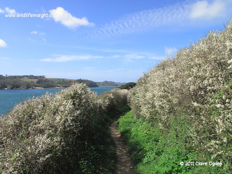 Coastal blackthorn hedgerows between Mawnan Smith and Helford Estuary