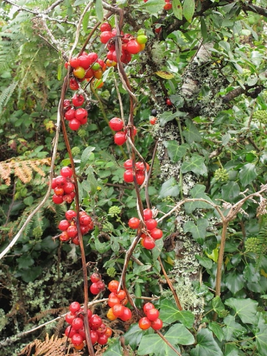 What U0026 39 S That String Of Bright Red  Waxy Berries In The Hedge