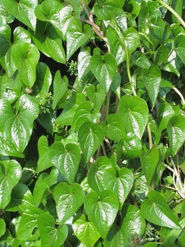 Black Bryony (Tamus communis) - leaves