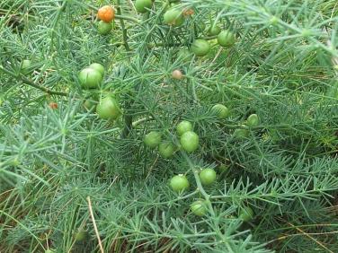 Wild Asparagus (Asparagus officinalis ssp. prostratus)