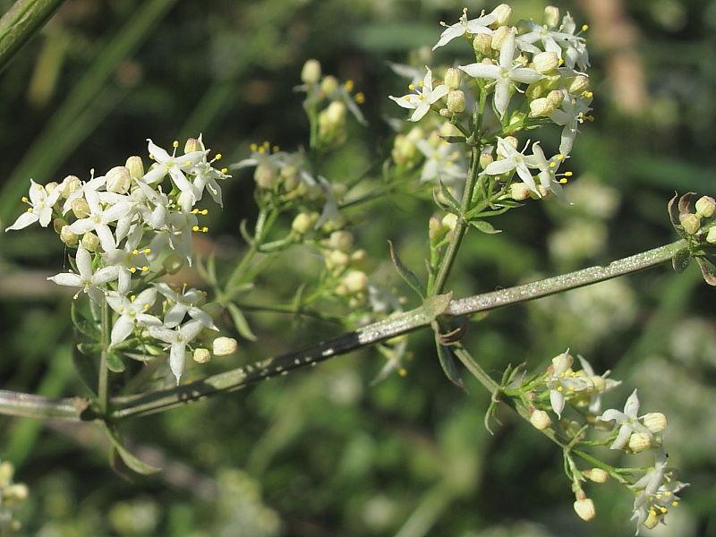 Hedge Bedstraw (Galium mullugo) © Claire Ogden