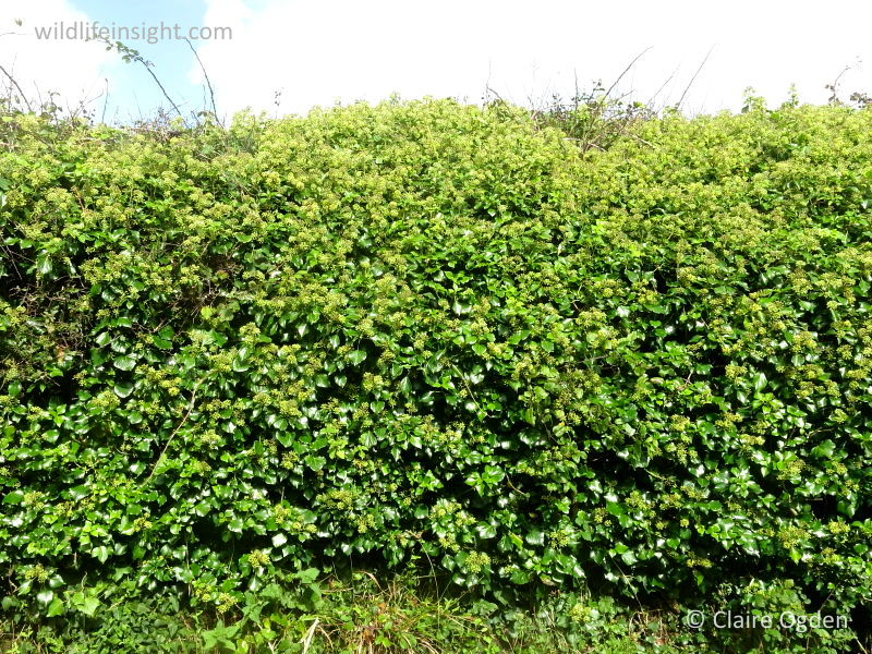Ivy (Hedera helix) © Claire Ogden