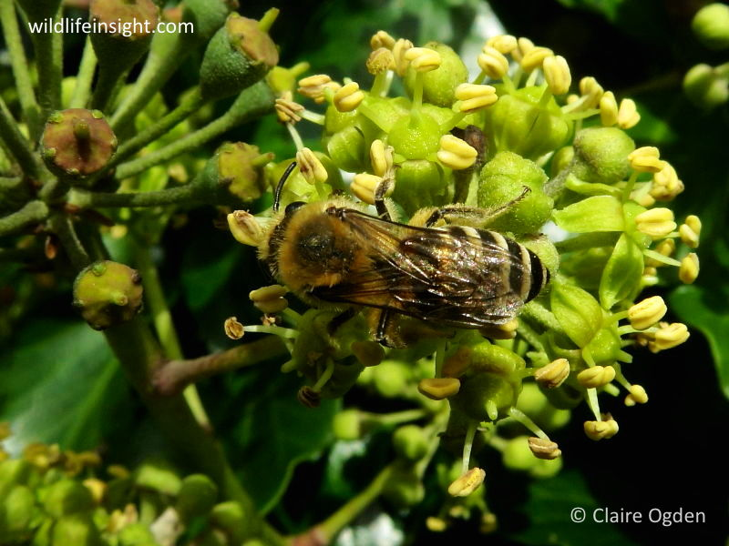 Ivy (Hedera helix) with Ivy Bee (Colletes hederae) © Claire Ogden