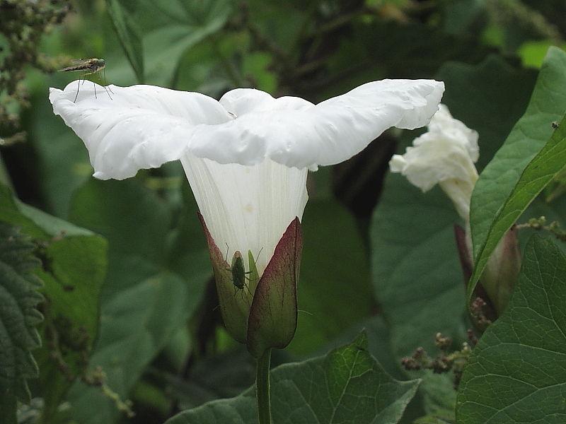 Large Bindweed (Calystegia silvatica)