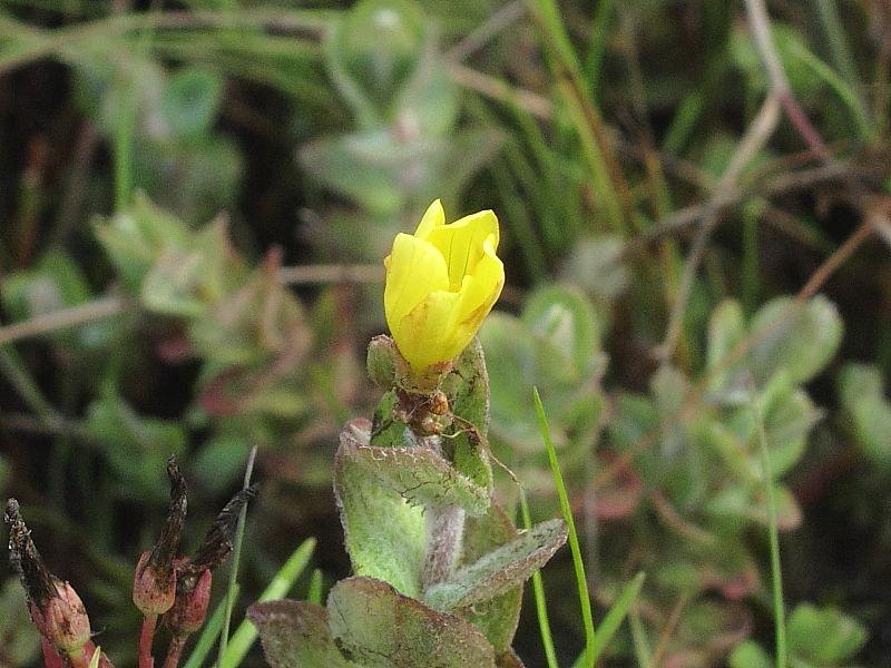 Marsh St John's-wort (Hypericum elodes) © Claire Ogden