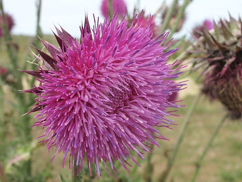 flowering head of Musk Thistle or Nodding Thistle (Carduus nutans) © Claire Ogden