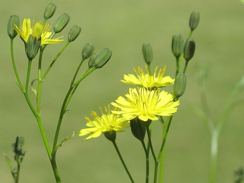 Nipplewort  Lapsana Communis