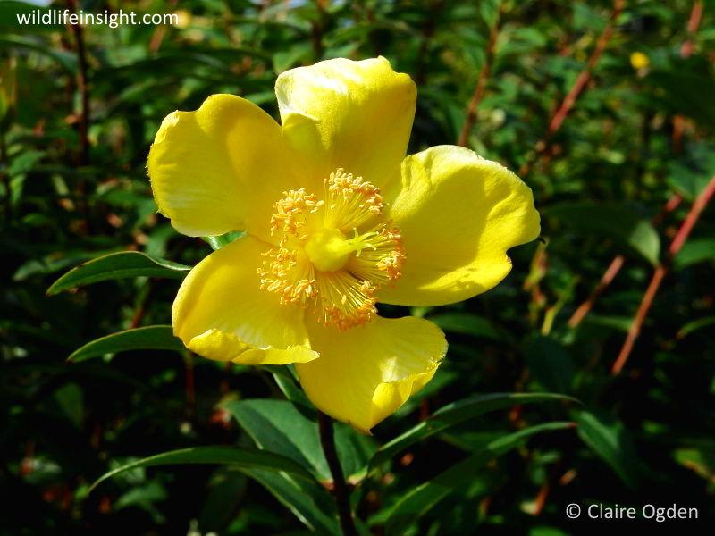 Rose-of-Sharon (Hypericum calycinum) © Claire Ogden