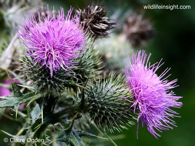 flowering heads of Spear Thistle (Cirsium vulgare) © Claire Ogden