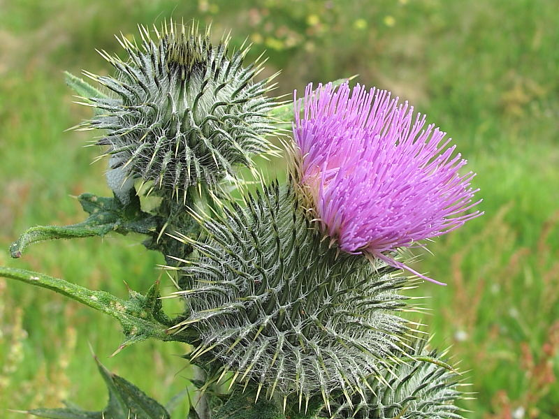 the flowering head of Spear Thistle (Cirsium vulgare) © Claire Ogden