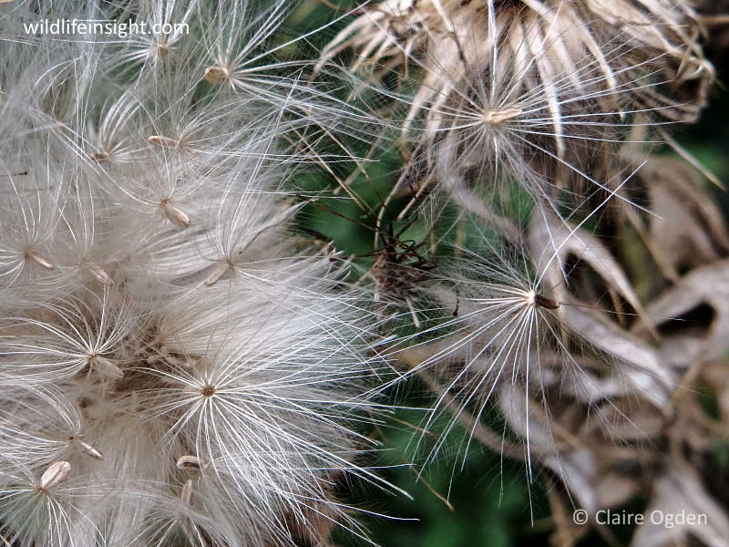 Thistle seedhead showing pappus of feathery hairs © Claire Ogden