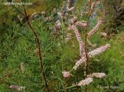 Tamarisk (Tamarix gallica)