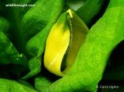 American Skunk-cabbage (Lysichiton americanus)