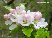 Apple (Malus domestica) blossom