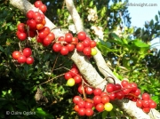 Black Bryony (Tamus communis) fruit