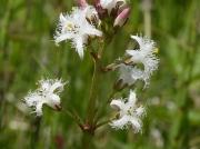 Bogbean (Menyanthes trifoliata)