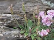 Buck's-horn Plantain (Plantago coronopus)