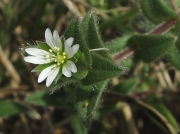 Common Mouse-ear (Cerastium fontanum)