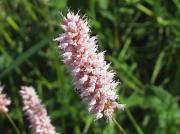 Common Bistort (Persicaria bistorta)