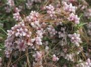 Dodder (Cuscuta epithymum)