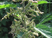 Common Nettle or Stinging Nettle