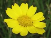 Corn Marigold (Glebionis segetum formerly Chrysanthemum segetum)