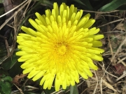 Dandelion (Taraxacum species)