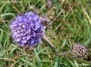 Devil's-bit Scabious (Succisa pratensis) flowerhead