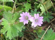 Dove's-foot Crane's-bill (Geranium molle)