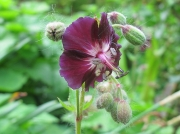 Dusky Crane's-bill (Geranium phaeum)
