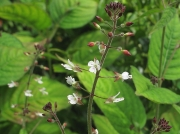 Enchanter's-nightshade (Circaea lutetiana)