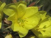 Evening-primrose species (Oenothera agg)