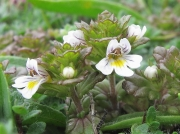 Eyebright species