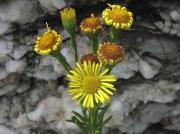 Golden-samphire (Inula crithmoides)