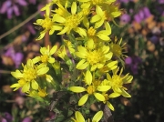 Goldenrod (Solidago virgaurea)