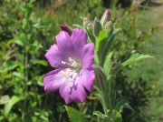 Great Willowherb or Codlins and Cream (Epilobium hirsutum)