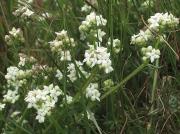 Heath Bedstraw (Galium saxatile)